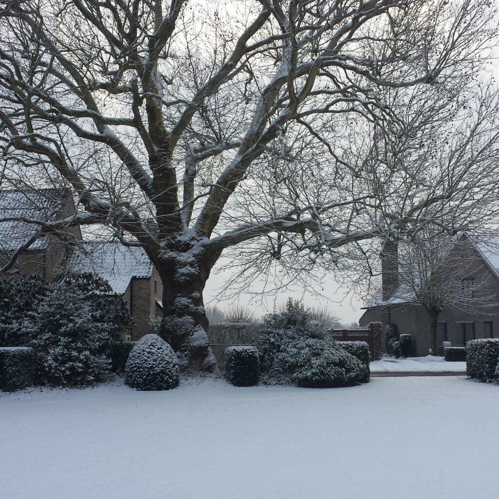 Plataan winter